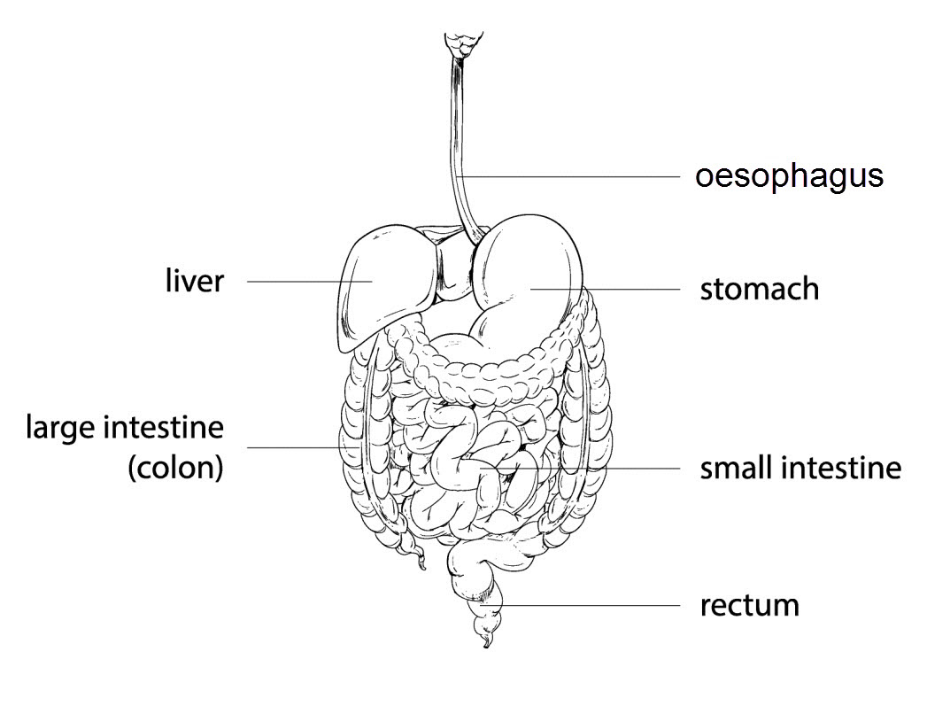 Digestive System Diagram Worksheet The Digestive System Worksheet Edplace