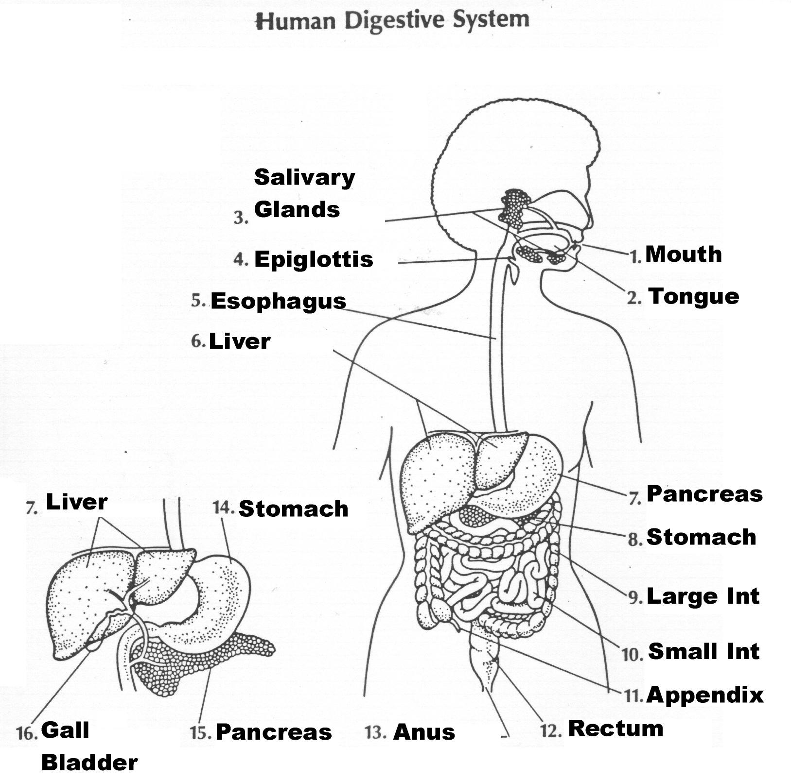 Digestive System Diagram Worksheet Unlabeled Diagram Of The Human Digestive System Drawing Human