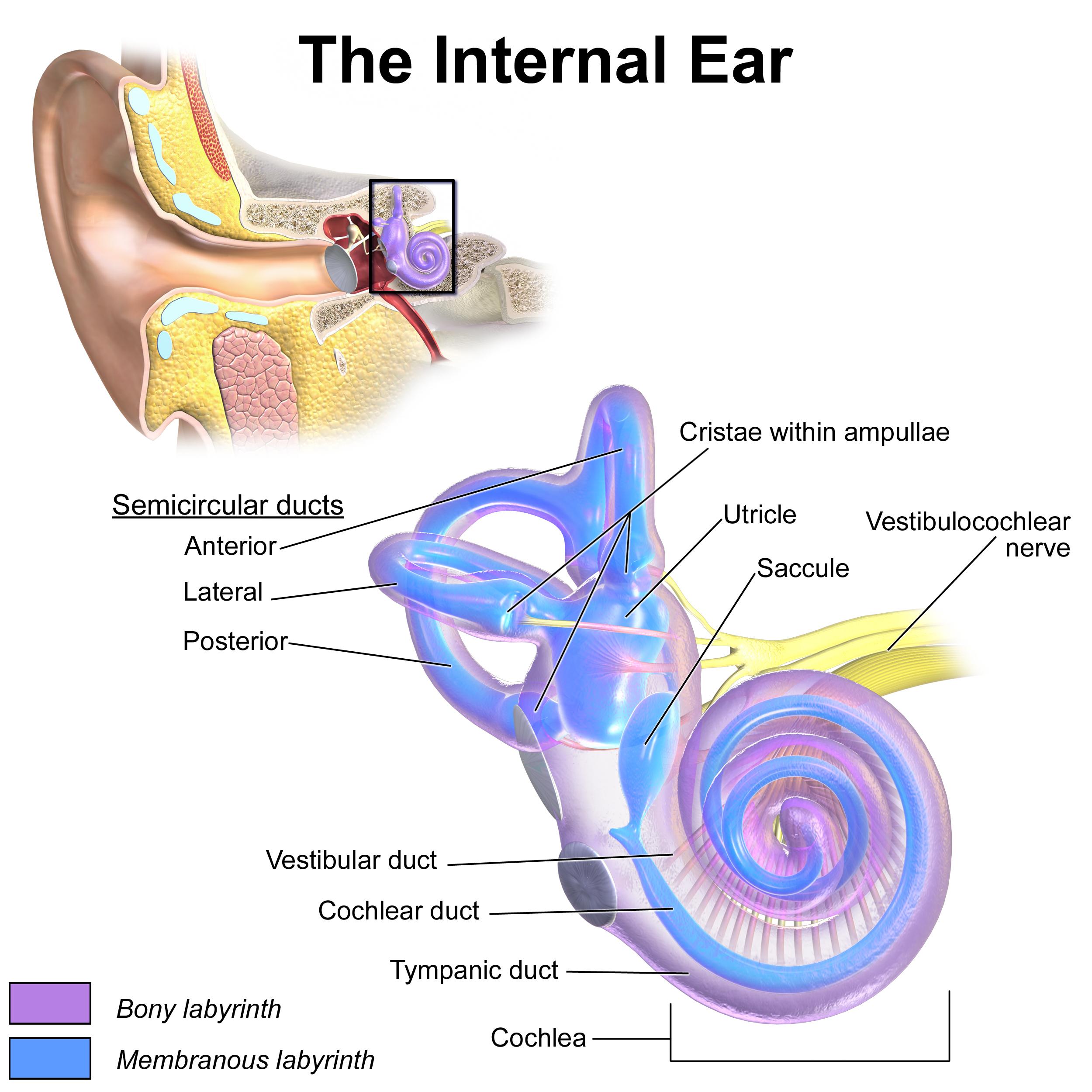 Ear Infection Diagram Inner Ear Wikipedia