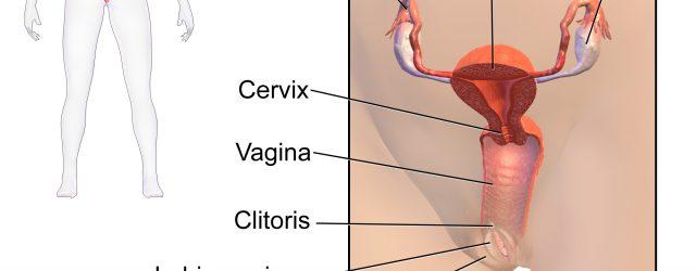 Female Anatomy Diagram Female Reproductive System Wikipedia