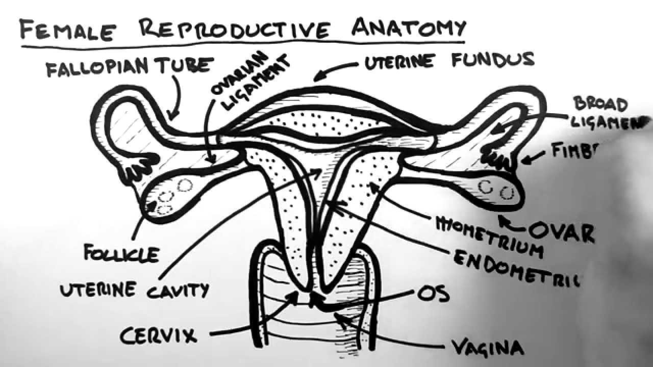 Female Reproductive System Diagram Female Reproductive Anatomy