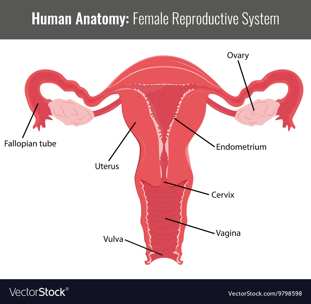 Female Reproductive System Diagram Female Reproductive System Detailed Anatomy