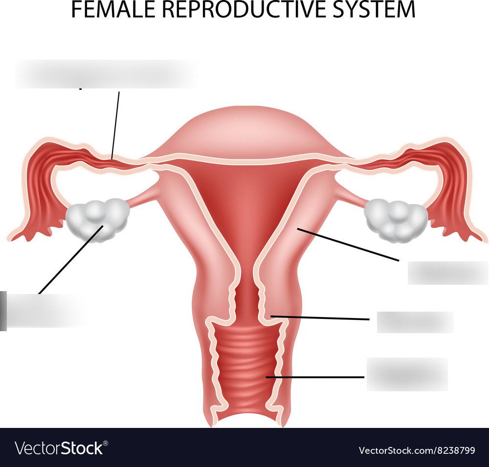 Female Reproductive System Diagram Female Reproductive System Diagram Quizlet