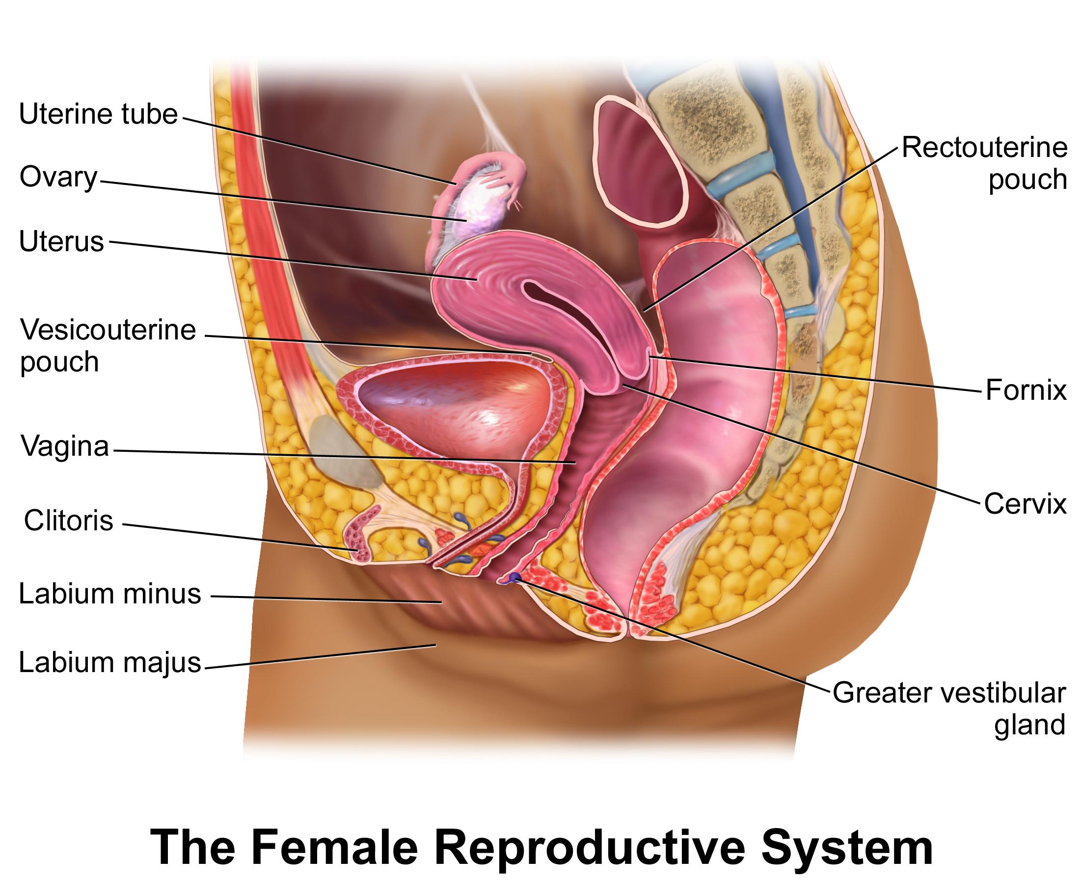 Female Reproductive System Diagram Female Reproductive System Diagram Unmasa Dalha