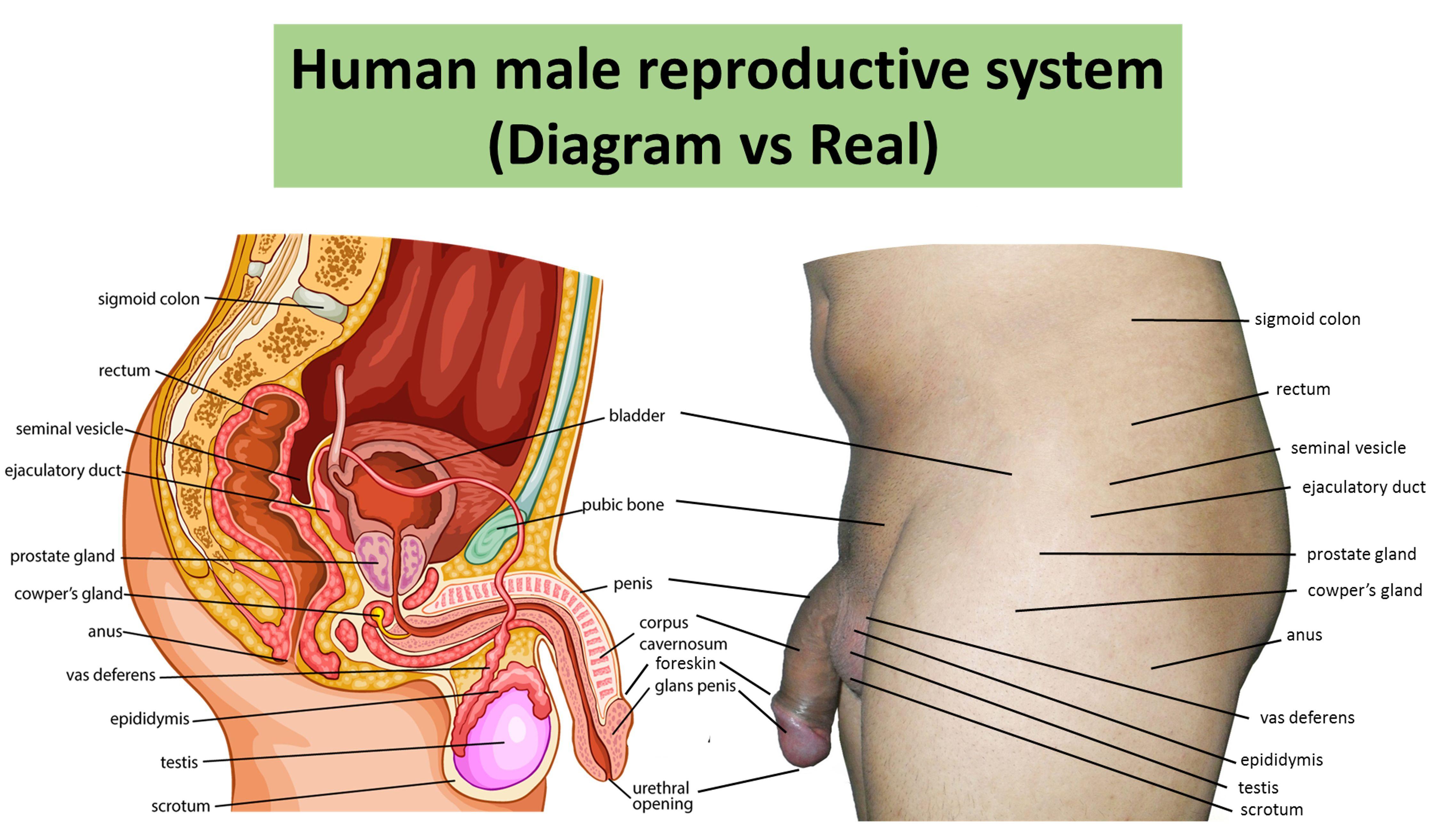 Female Reproductive System Diagram Female Reproductive System Drawing Free Download Best Female