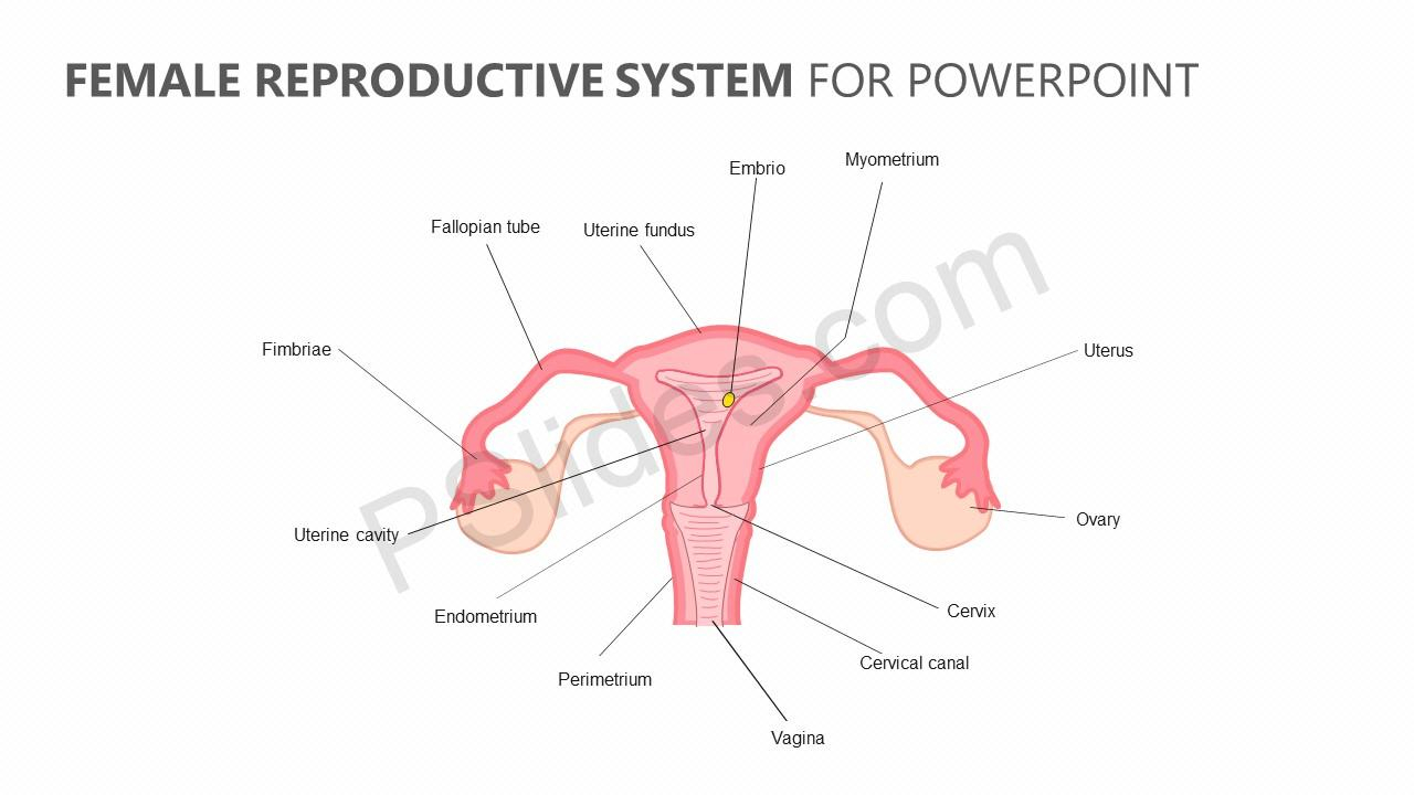 Female Reproductive System Diagram Female Reproductive System For Powerpoint Pslides