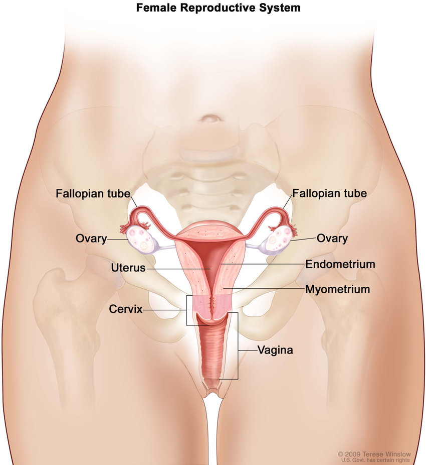 Female Reproductive System Diagram Female Reproductive System For The National Cancer Institute