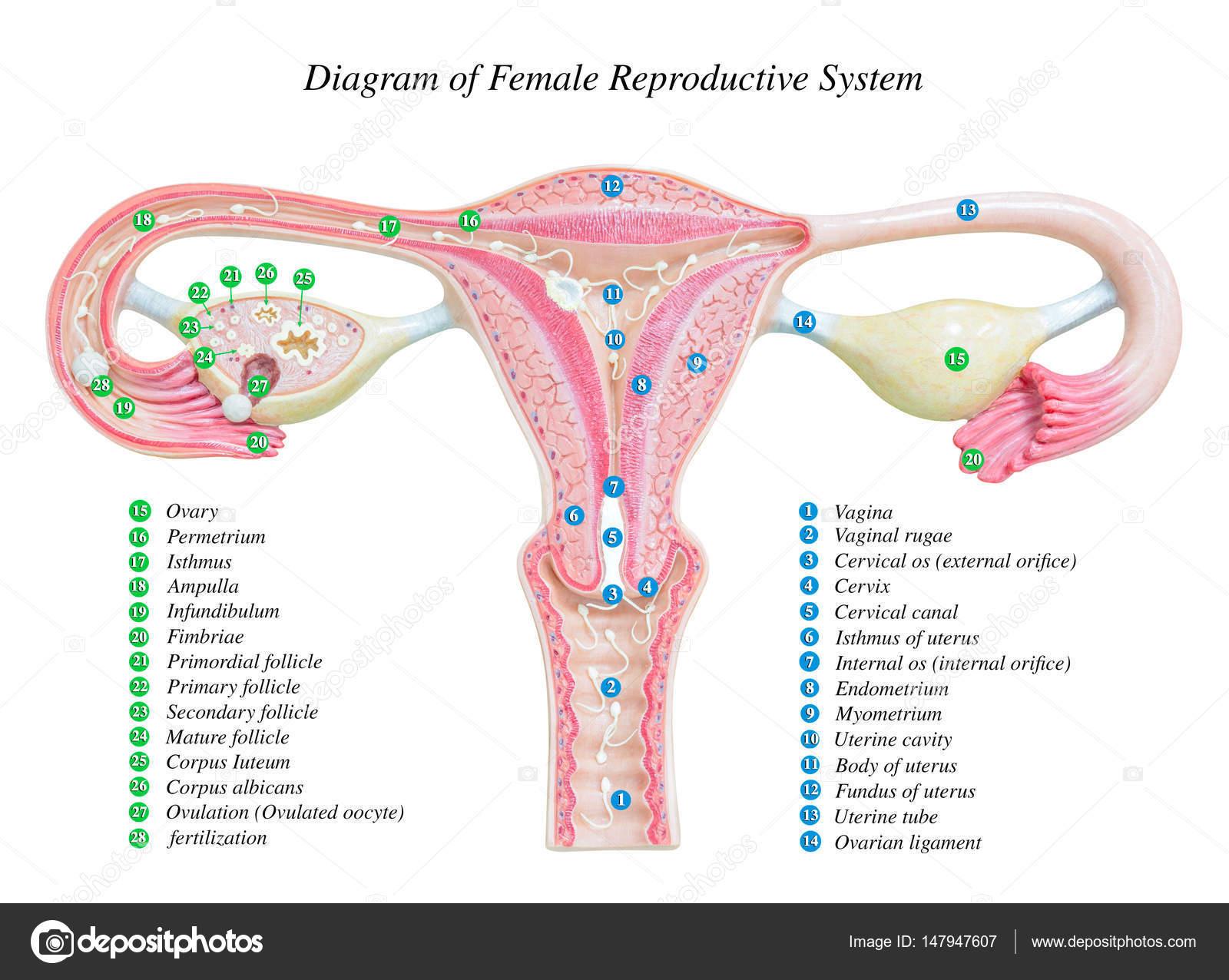 Female Reproductive System Diagram Female Reproductive System Image Diagram Stock Photo Kinwun