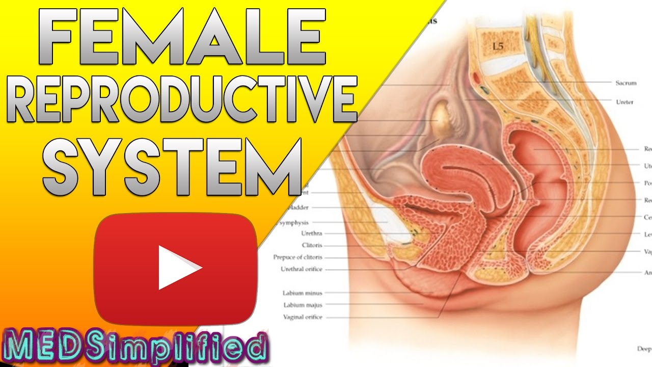 Female Reproductive System Diagram Female Reproductive System Made Easy Organs Functions