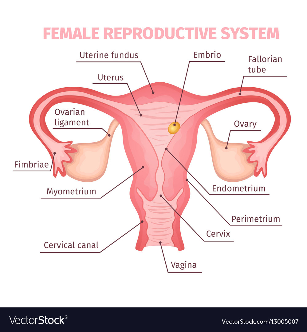 Female Reproductive System Diagram Female Reproductive System Scientific Template Vector Image