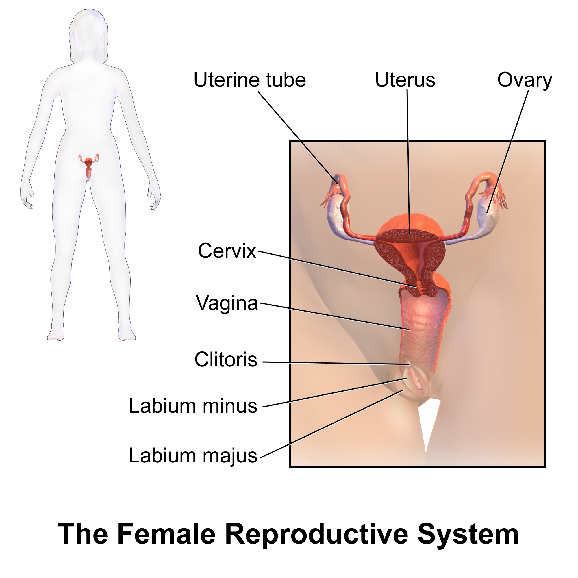 Female Reproductive System Diagram Female Reproductive System Wikipedia