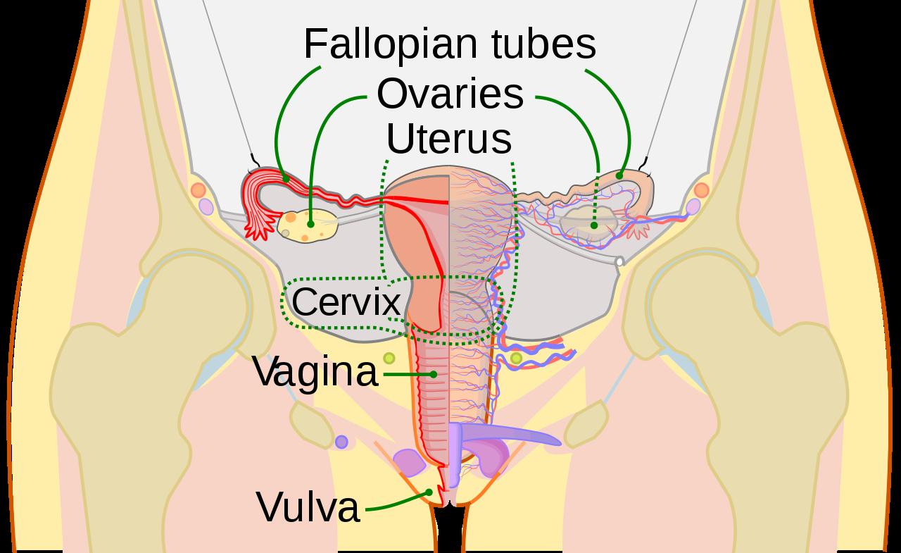 Female Reproductive System Diagram Filescheme Female Reproductive System Ensvg Wikipedia
