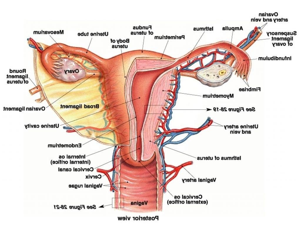 Female Reproductive System Diagram Human Female Reproductive System Diagram Female Anatomy Uterus