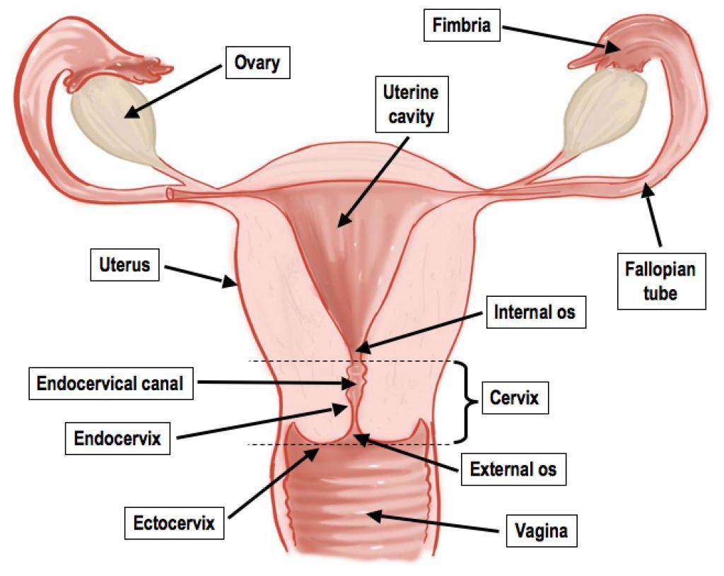 Female Reproductive System Diagram Male Reproductive System Lesson 0405 Tqa Explorer