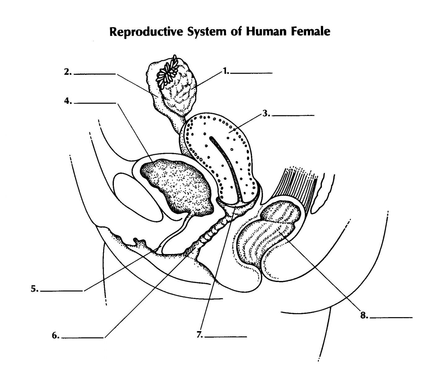 Female Reproductive System Diagram Reproductive System Of Female Proprofs Quiz