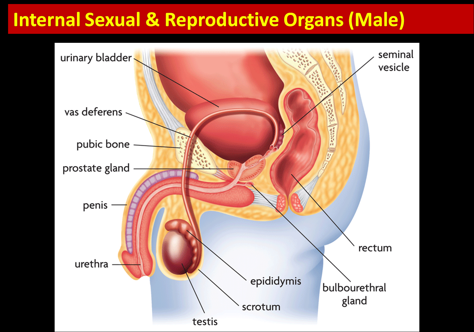 Female Reproductive System Diagram Science 8th Grade Female And Male Reproductive Anatomy