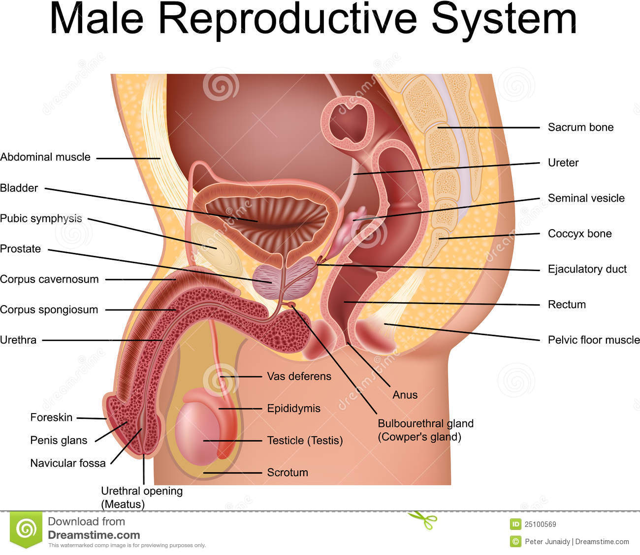 Female Reproductive System Diagram What Is The Reproductive System Socratic