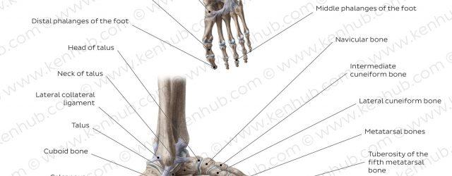 Foot Bones Diagram Diagram Pictures Bones Of The Foot Anatomy Kenhub