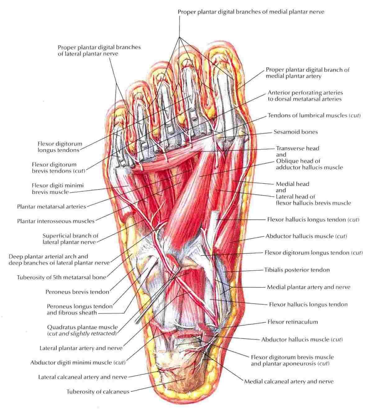 Foot Pain Diagram Diagram Bottom Of Foot Wiring Diagram Article