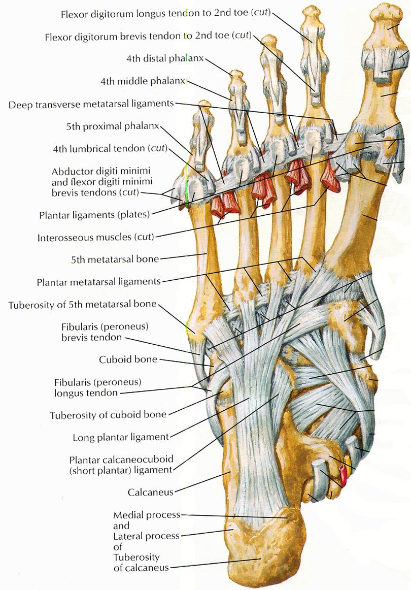 Foot Pain Diagram Diagram Of Toes Wiring Diagrams User