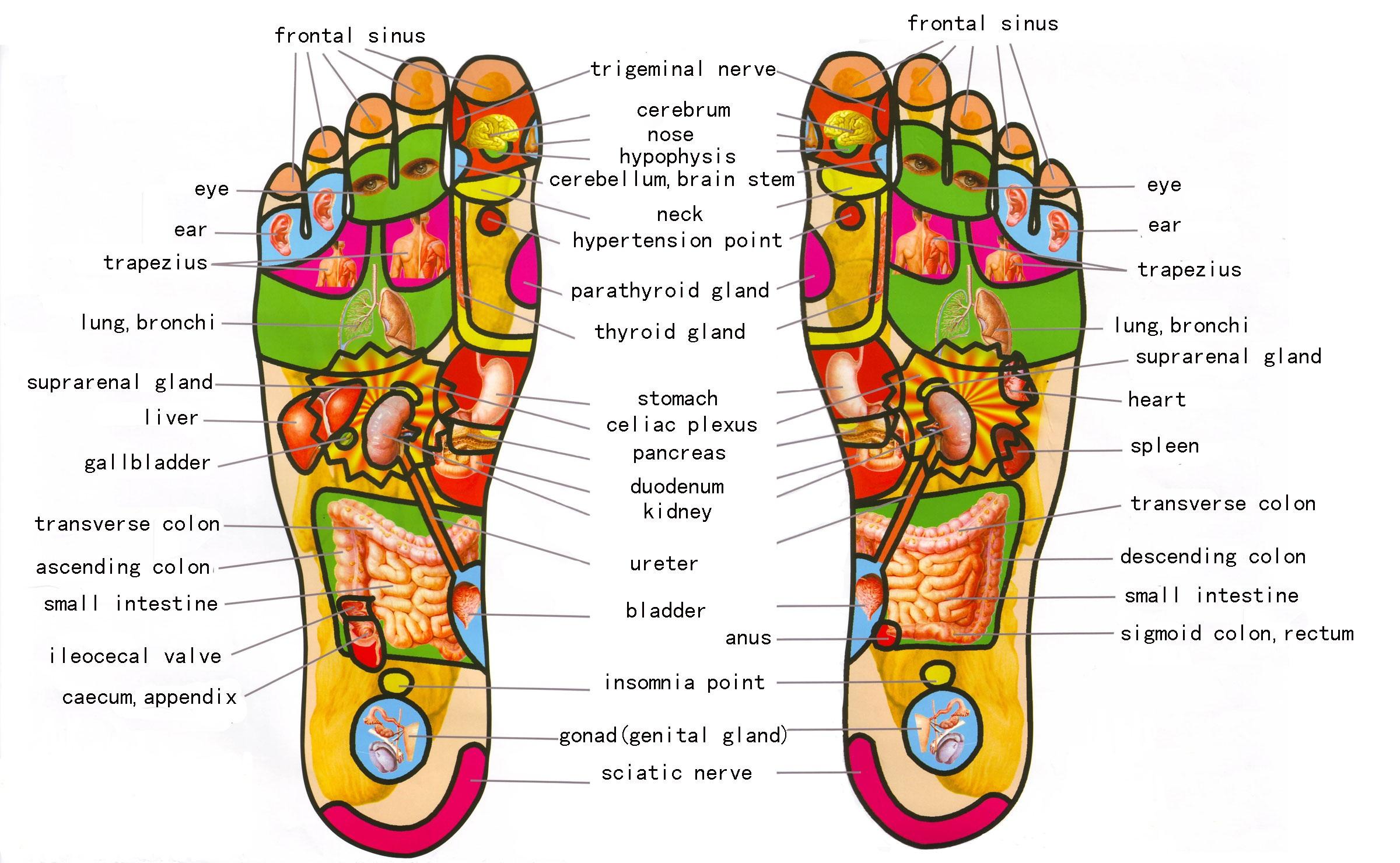 Foot Reflexology Diagram Download All Best Foot Reflexology2019charts