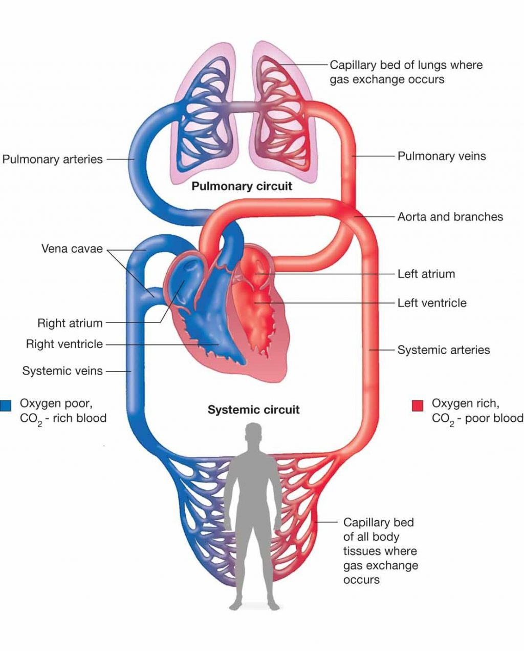 Heart Blood Flow Diagram Blood Flow Through Heart Diagrams Printable Diagram Systemic And
