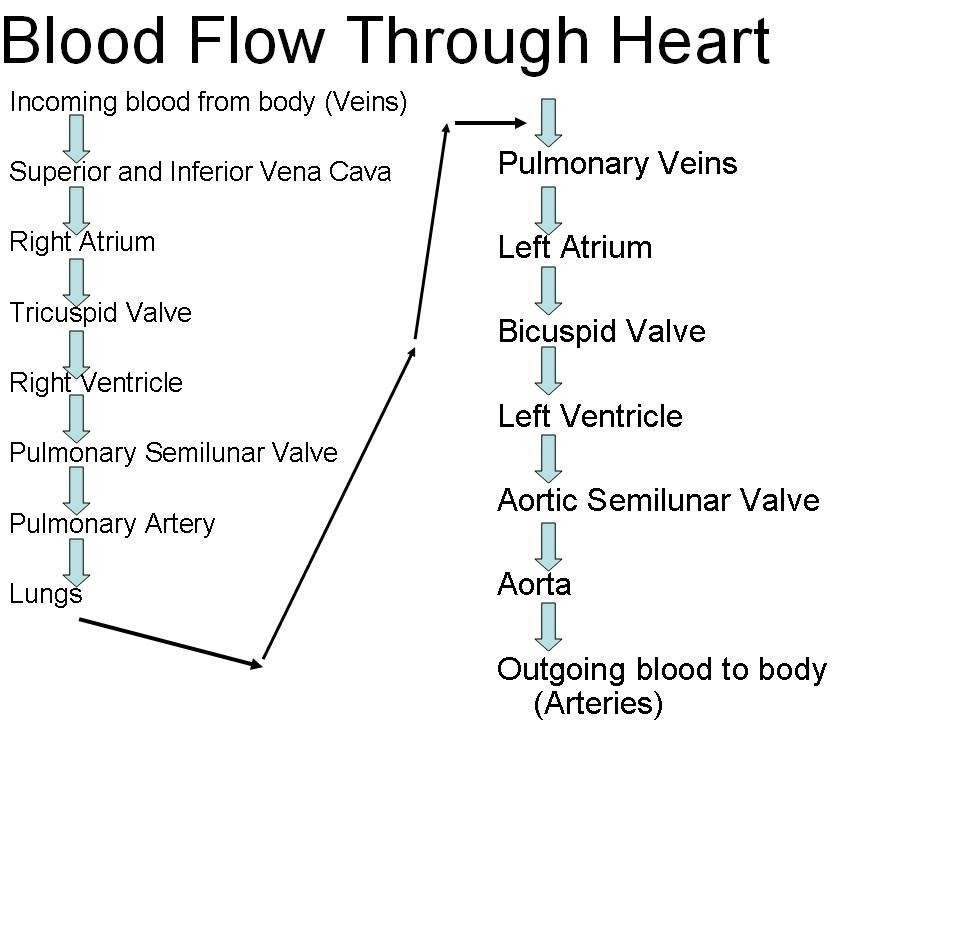 Heart Blood Flow Diagram Blood Flow Through The Heart Diagram Step Step 044 How Blood