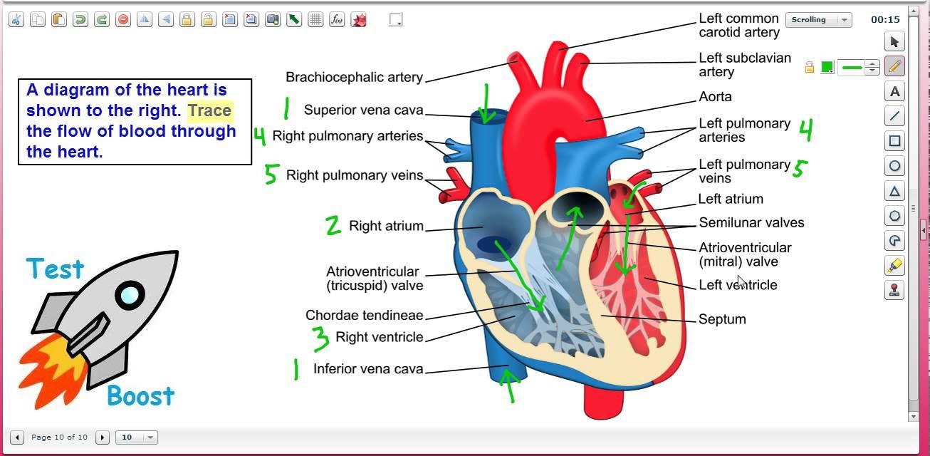 Heart Blood Flow Diagram Blood Flow Through The Heart Diagram Step Step Blood Flow Through