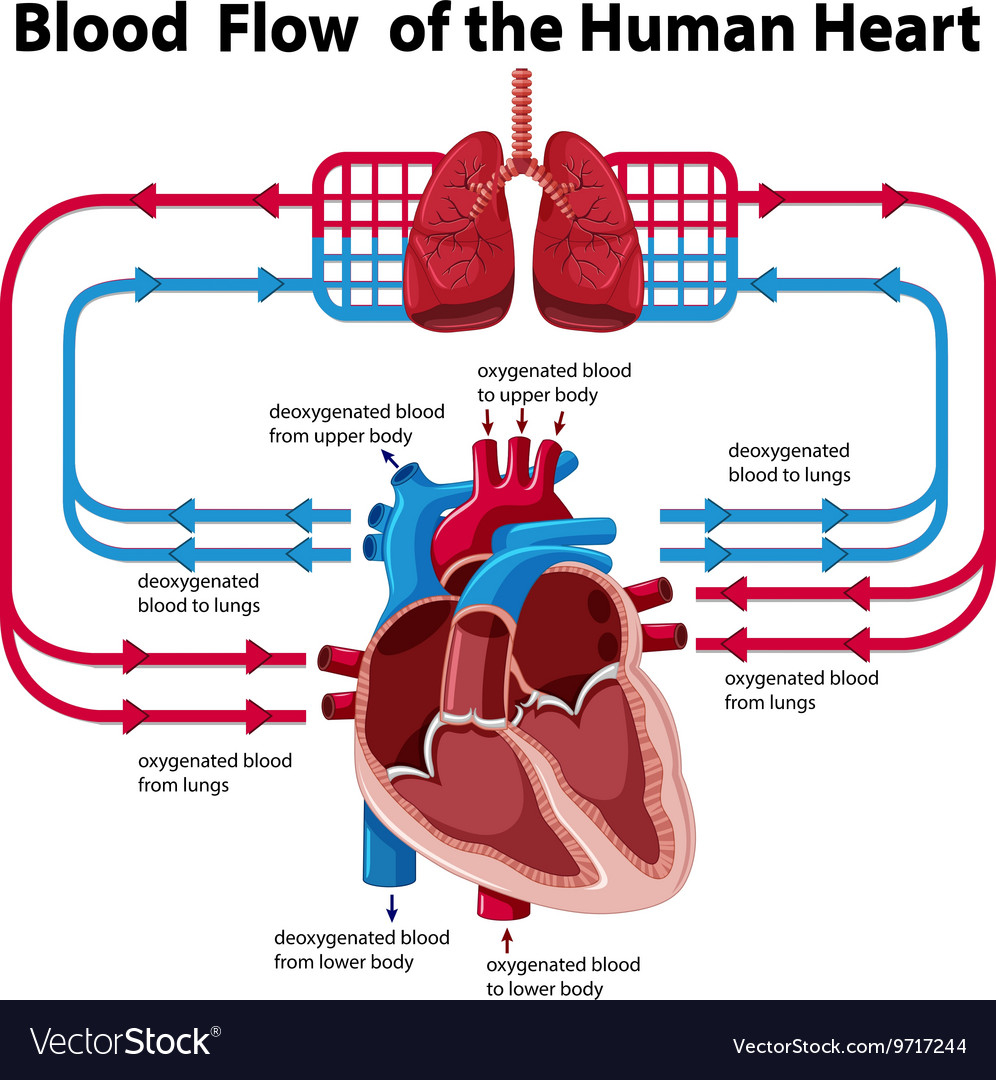 Heart Blood Flow Diagram Chart Showing Blood Flow Of Human Heart