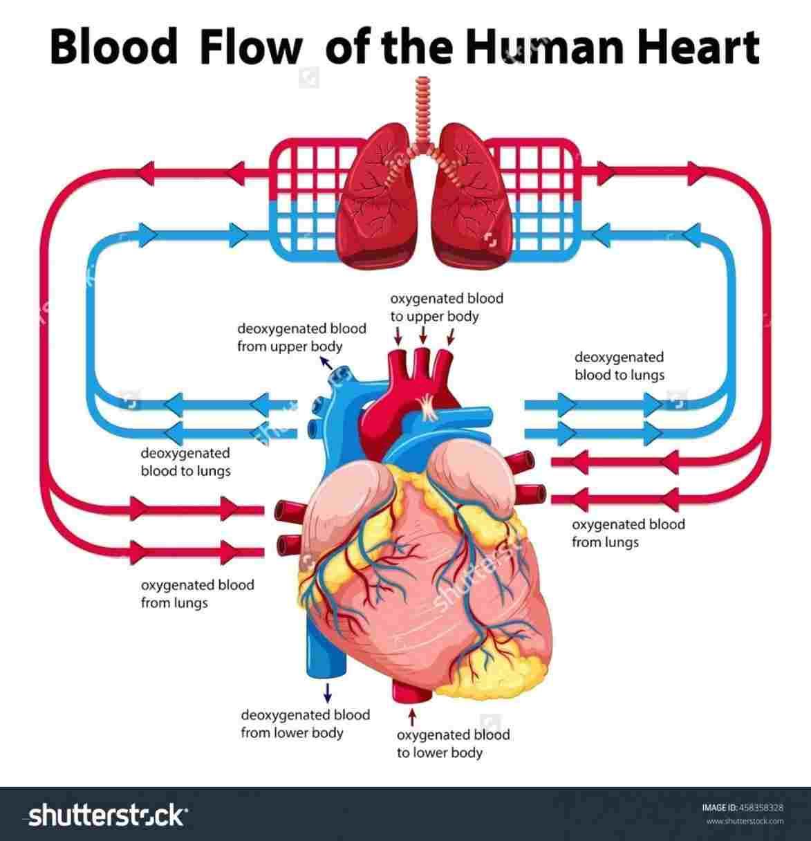 Heart Blood Flow Diagram Circulatory Human Heart Blood Flow Diagram System Blood Flow Diagram