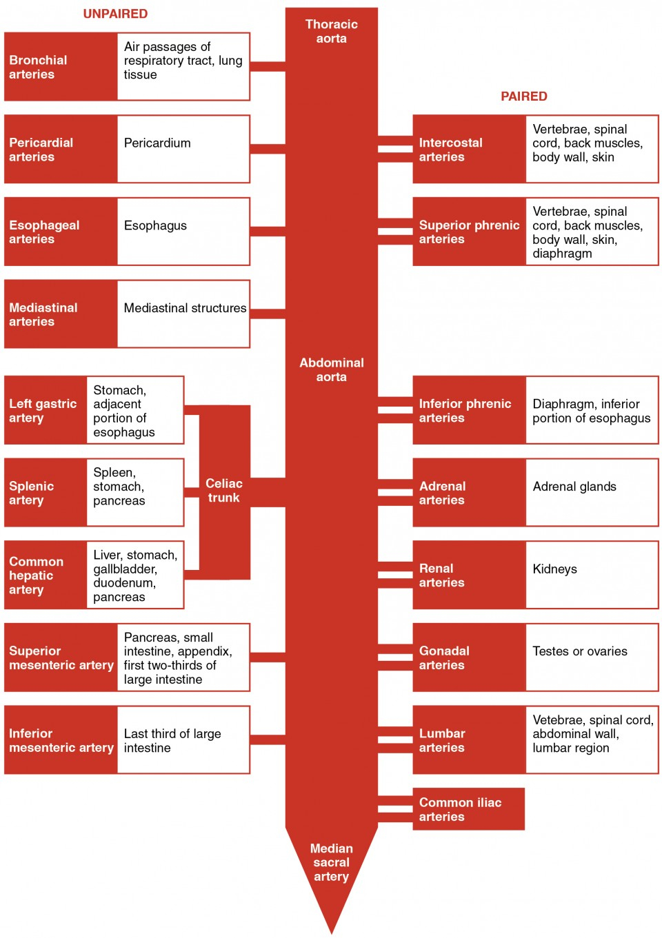 Heart Blood Flow Diagram Circulatory Pathways Anatomy And Physiology Ii