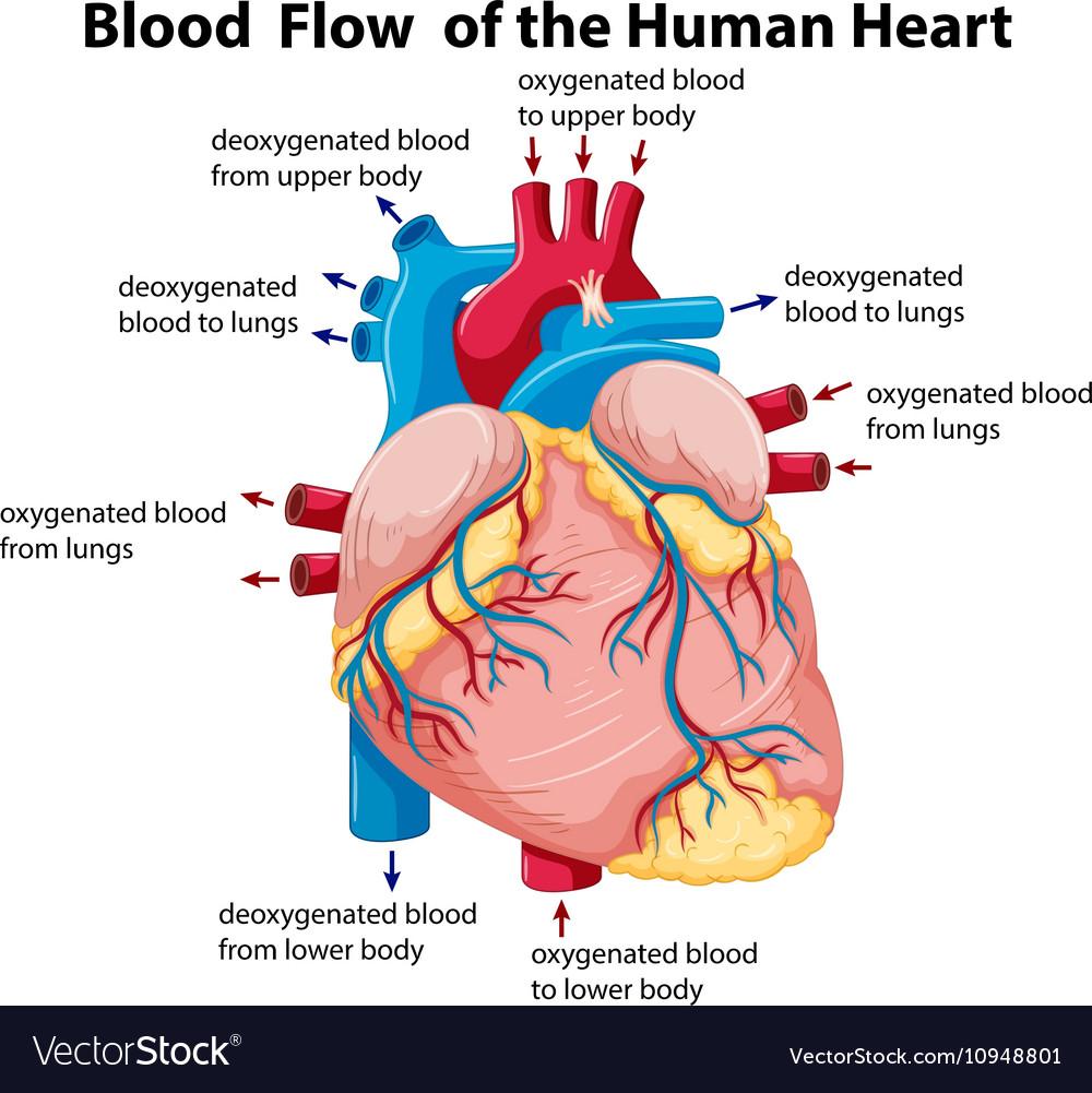 Heart Blood Flow Diagram Diagram Of Blood Flow Wiring Diagram Write