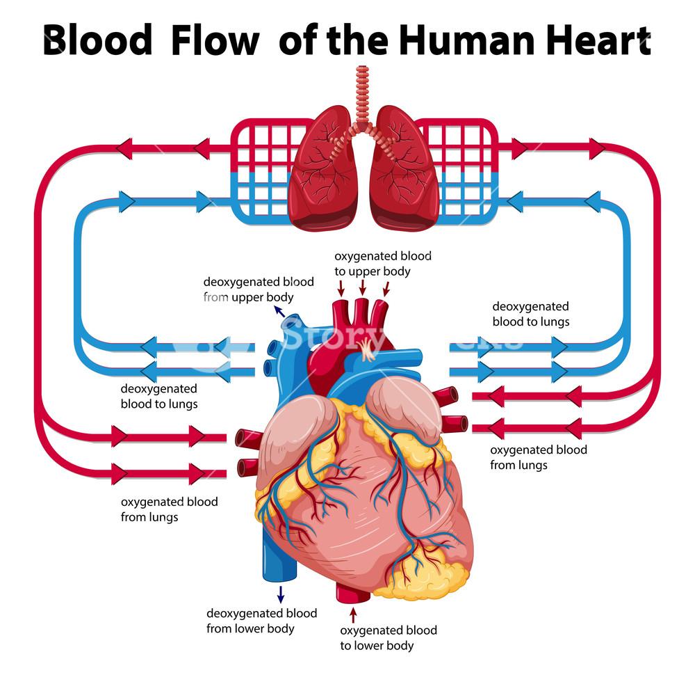 Heart Blood Flow Diagram Diagram Showing Blood Flow Of Human Heart Illustration Royalty Free