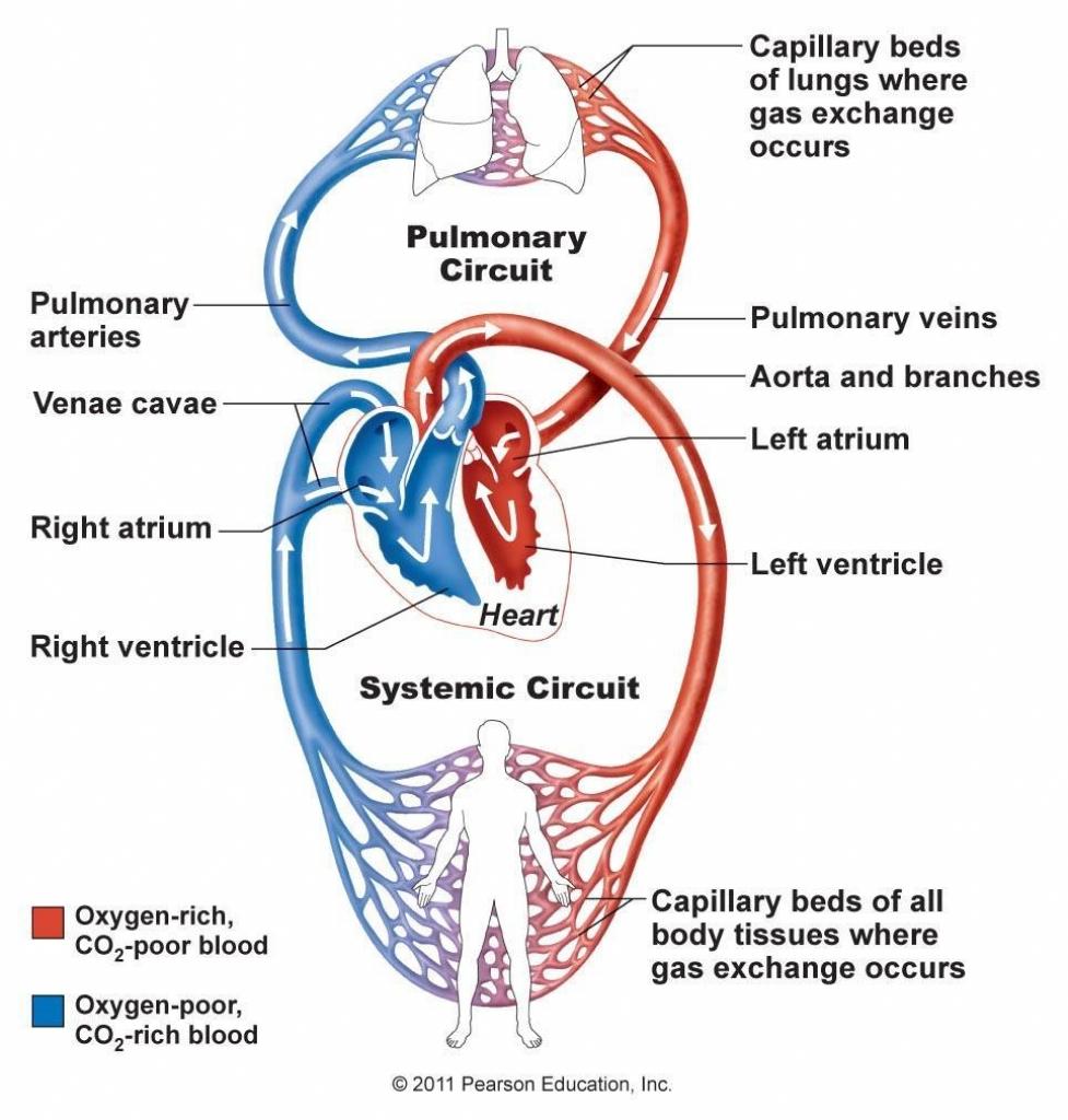 Heart Blood Flow Diagram Flow Diagram Of Cardiovascular System Wiring Diagram Post