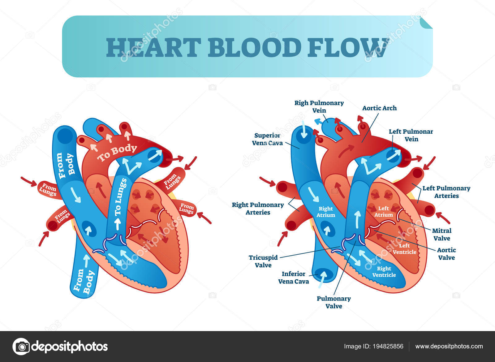 Heart Blood Flow Diagram Heart Blood Flow Circulation Anatomical Diagram With Atrium And