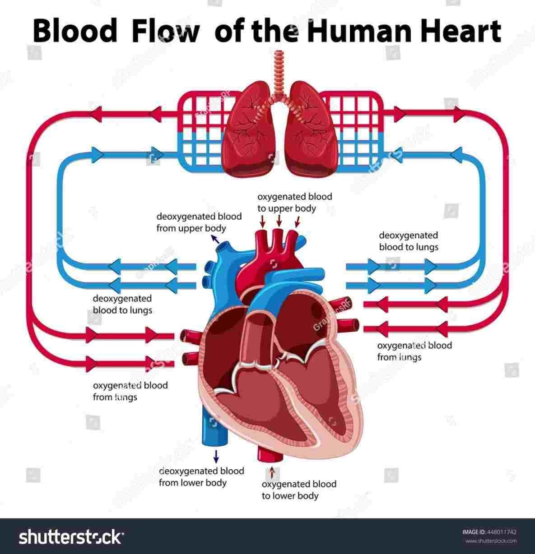 Heart Blood Flow Diagram Heart Blood Flow Diagram Body Blood Circulating Diagram Anatomy U