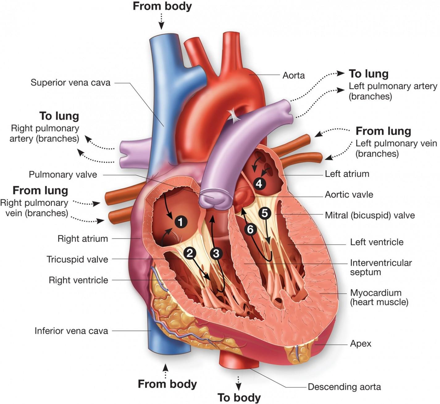 Heart Blood Flow Diagram Heart Diagram Blood Flow Inspirational Diagram Flow Heart Blood Flow