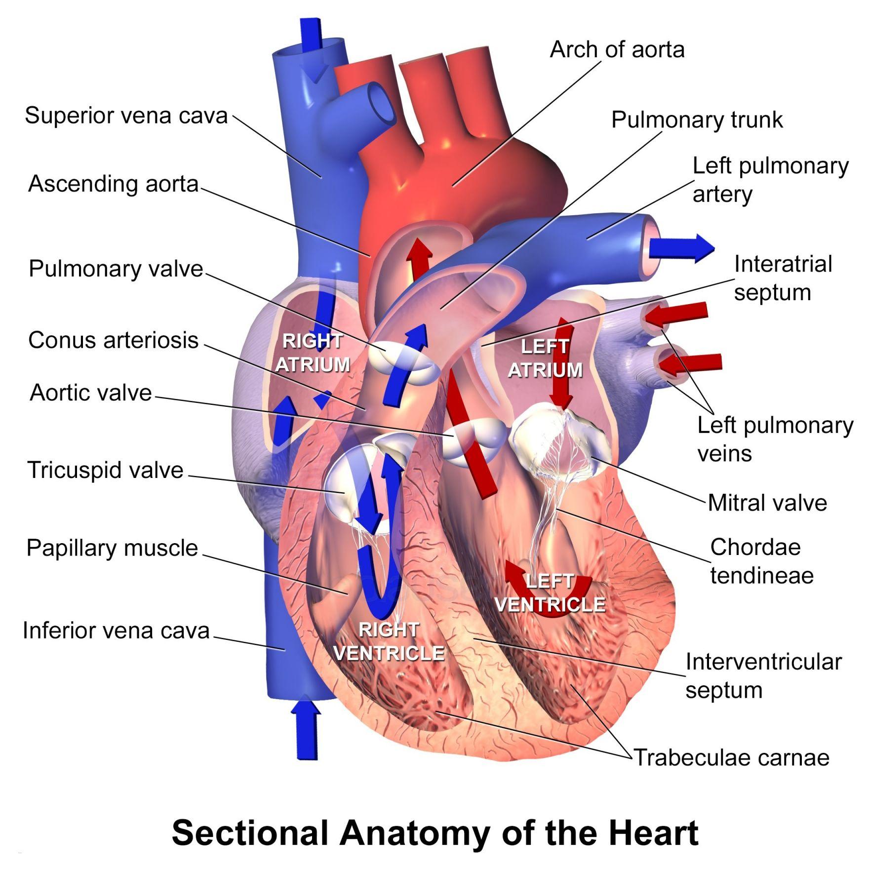 Heart Blood Flow Diagram Human Heart Blood Flow Diagram Lovely Lungs Diagram New Blood Flow