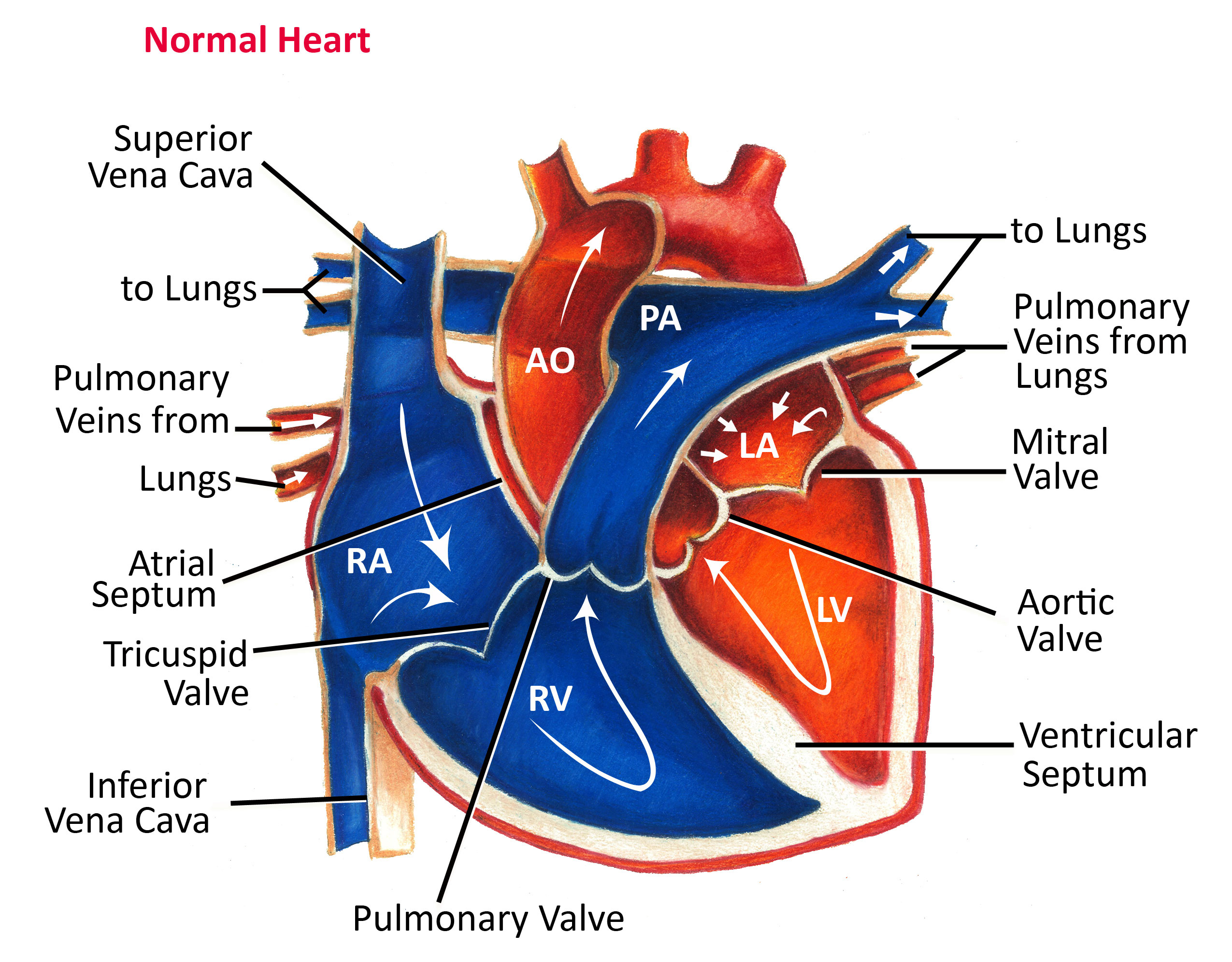 Heart Blood Flow Diagram Normal Heart Anatomy And Blood Flow Pediatric Heart Specialists