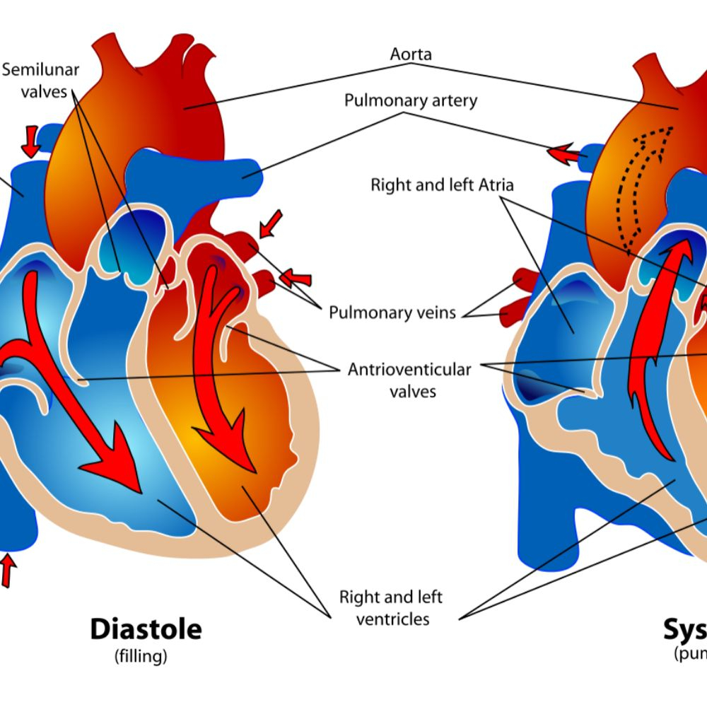 Heart Blood Flow Diagram Phases Of The Cardiac Cycle When The Heart Beats