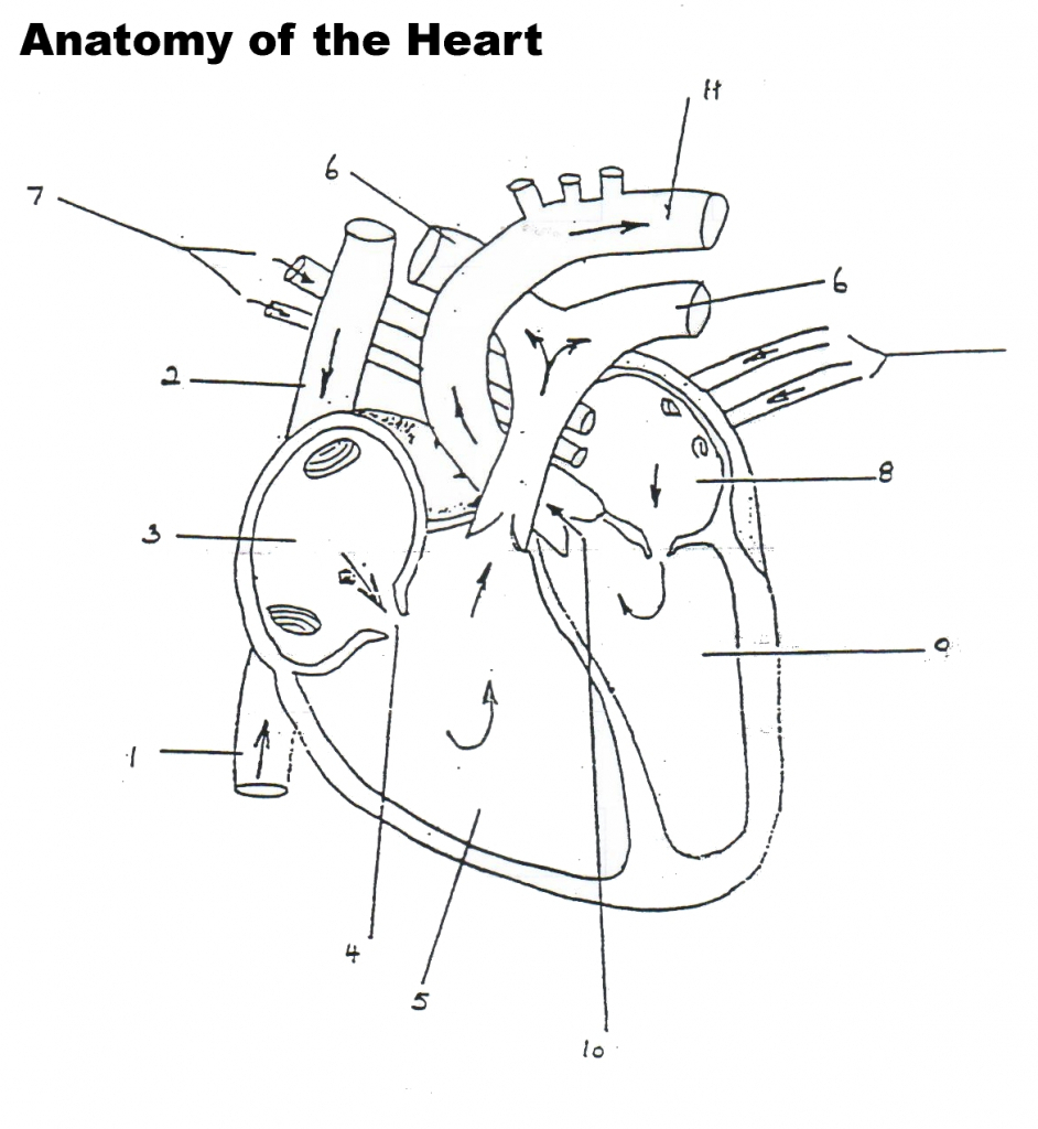 Heart Blood Flow Diagram The Best Free Flow Drawing Images Download From 281 Free Drawings