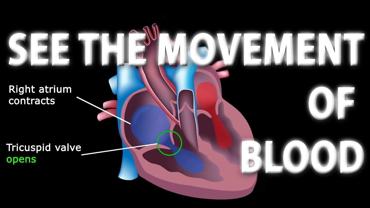 Heart Blood Flow Diagram The Pathway Of Blood Flow Through The Heart Animated Tutorial
