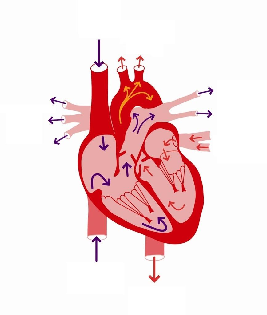 Heart Blood Flow Diagram W9 Heart Blood Flow Diagram Diagram Quizlet