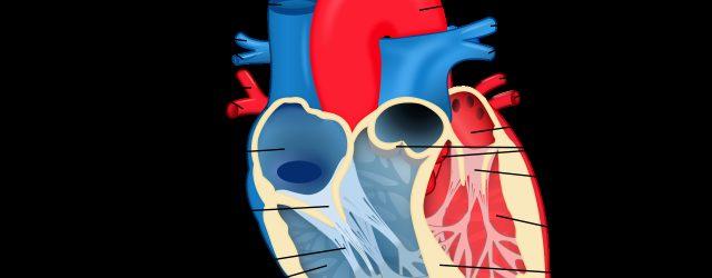 Labeled Heart Diagram Fileheart Diagram Ensvg Wikipedia