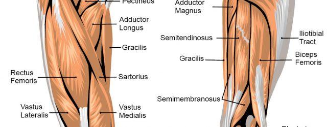 Leg Muscle Diagram Leg Muscle Anatomy Posterior Leg Muscles Diagram Photo Album