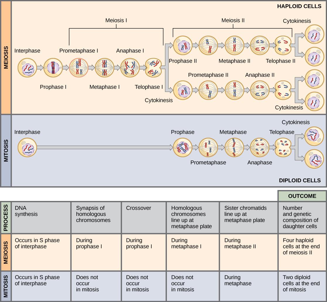 Mitosis Meiosis Venn Diagram Meiosis And Gametogenesis Biology I Laboratory Manual