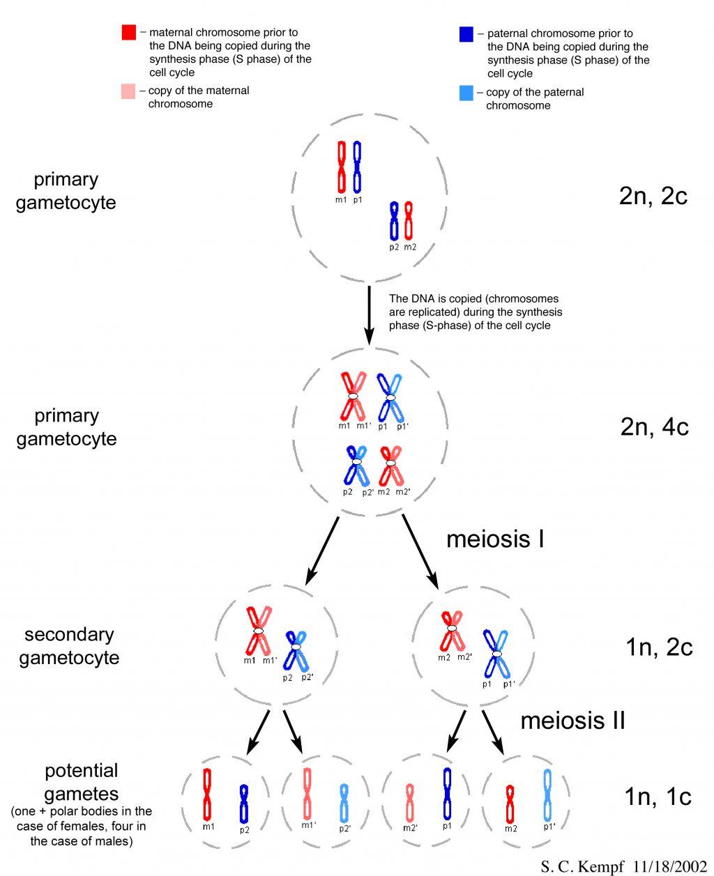 Mitosis Meiosis Venn Diagram Mitosis And Meiosis Flow Chart Virginiamayhew