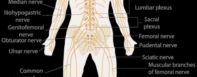 Nervous System Diagram Nervous System Wikipedia