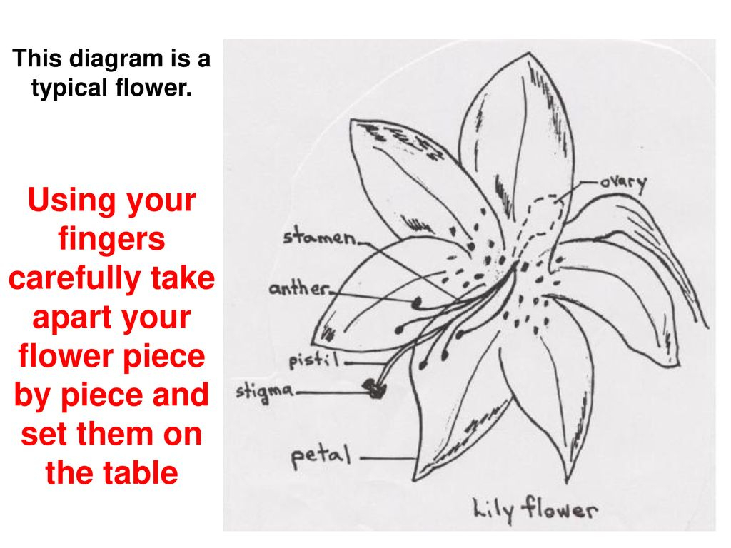 Parts Of A Flower Diagram Catalyst What Are The Parts Of A Flower That You Already Know What