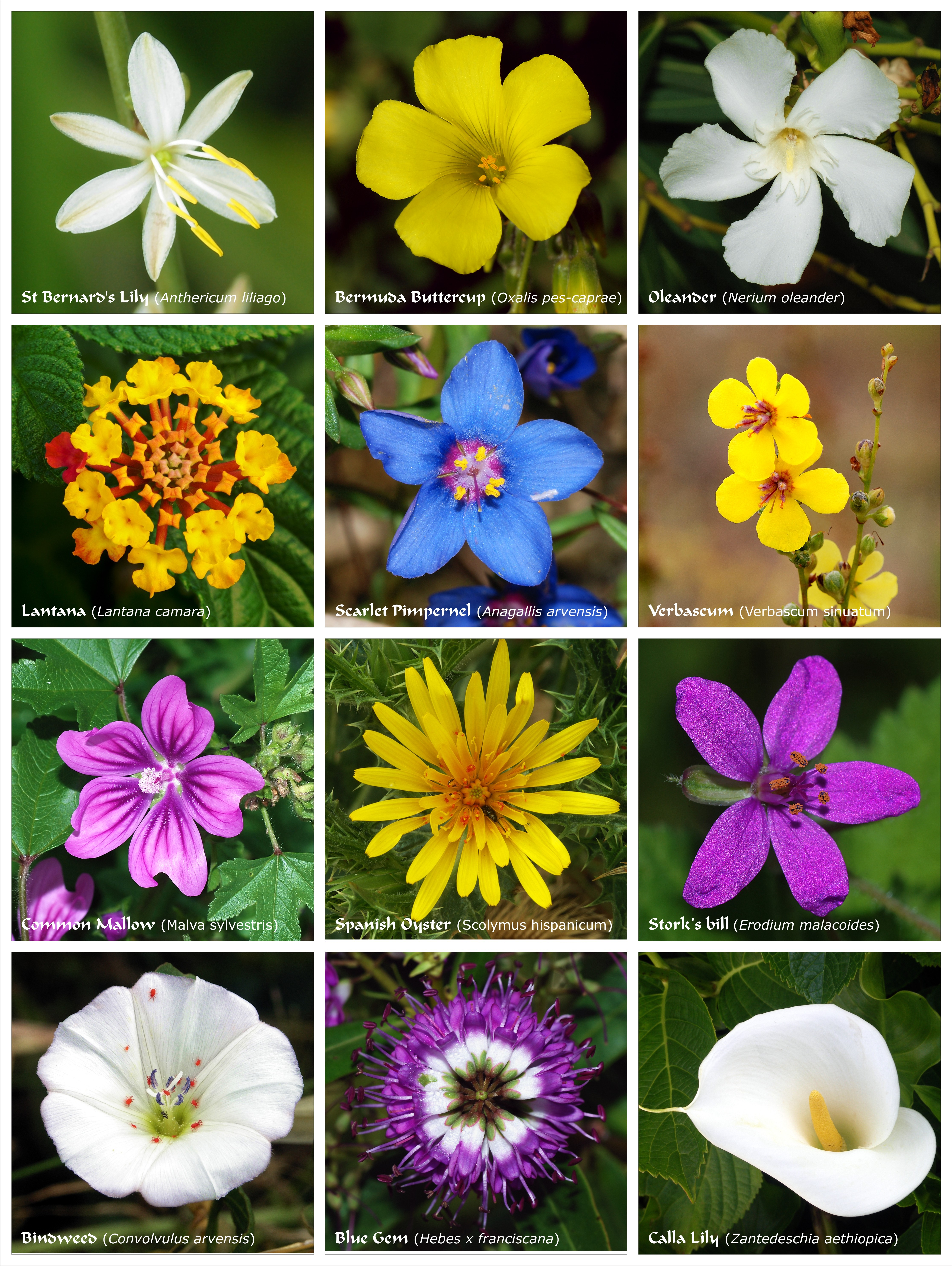 Parts Of A Flower Diagram Flower Wikipedia